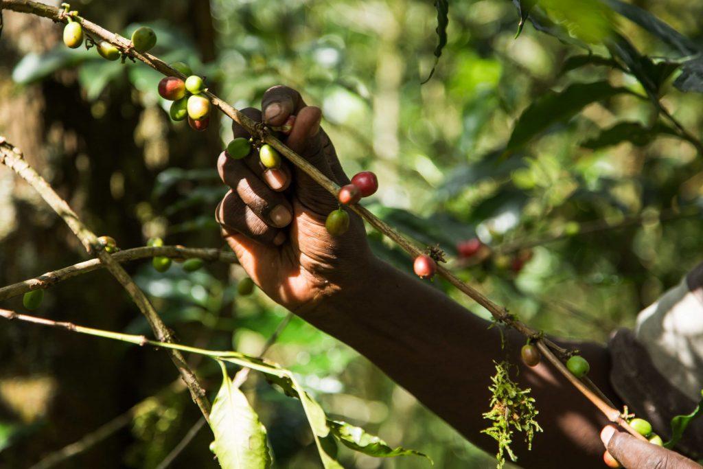 ETHIOPIA, Kaffa, Coop Diri - Coffe Cherries
