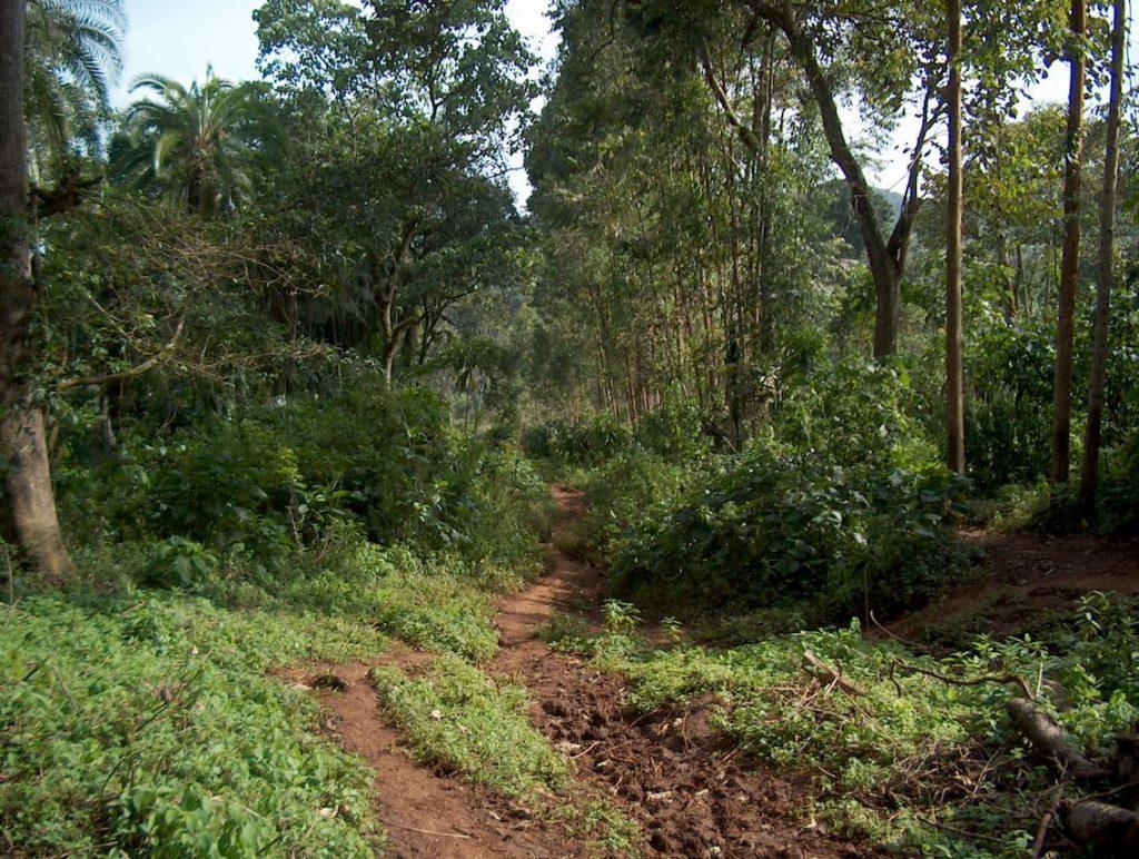 ETHIOPIA, Kaffa, Coop Diri - Coffe Forest