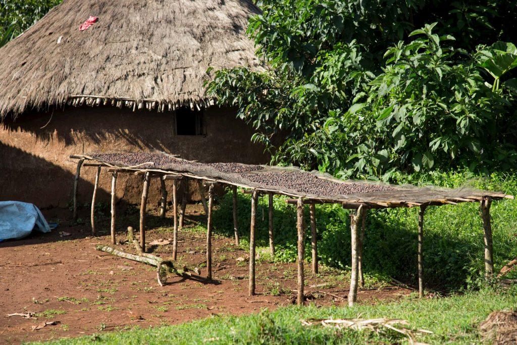 ETHIOPIA, Kaffa, Coop Diri - Coffe Sun Drying