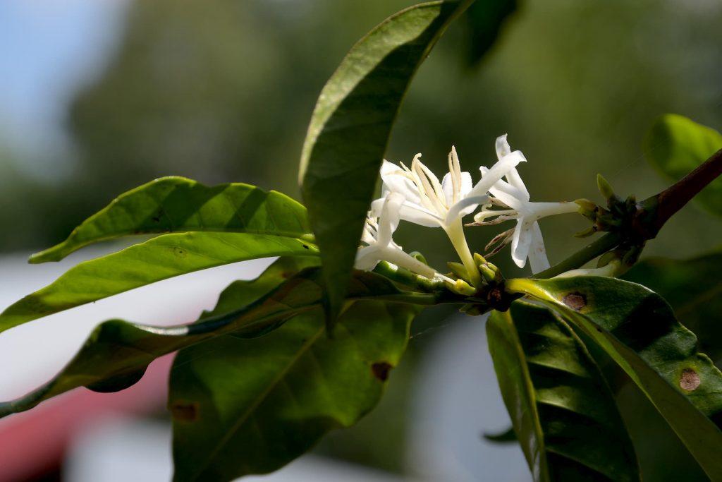 ETHIOPIA, Kaffa, Coop Diri - Coffe Flower