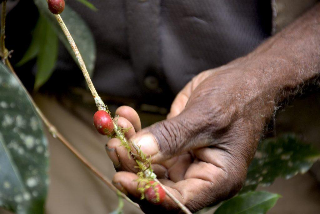 ETHIOPIA, Kaffa, Coop Diri - Coffe Harvesting