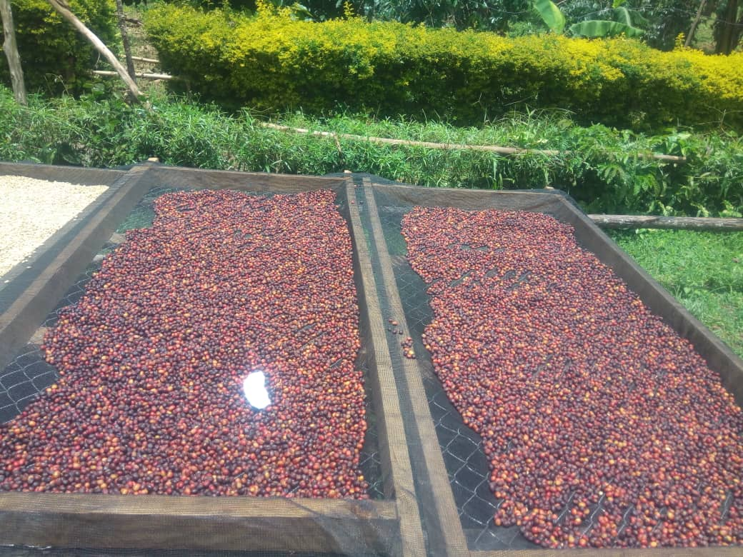 UGANDA Mt.Elgon Africanah Specialty Washed - Coffee Sun Drying